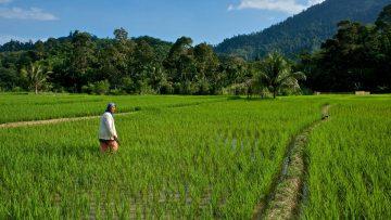 Indonéské patchouli z acehu